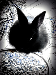 The Black Rabbit (Steve Taylor (Photography)) Tags: abstract rabbit food pellets eating blue black contrast white newzealand nz southisland canterbury christchurch grass texture fur straw bowl ears negative