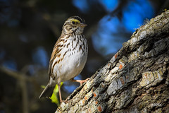 Savannah Sparrow (jt893x) Tags: 150600mm bird d500 jt893x nikon nikond500 passerculussandwichensis savannahsparrow sigma sigma150600mmf563dgoshsms songbird sparrow thesunshinegroup coth alittlebeauty coth5