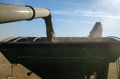 Grain Cart Loading 1 (Bracus Triticum) Tags: grain loading harvest アルバータ州 alberta canada カナダ 10月 十月 神無月 かんなづき kannazuki themonthwhentherearenogods 平成30年 2018 autumn october cart