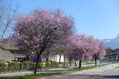 Cherry blossoms @ Annecy-le-Vieux (*_*) Tags: sunny europe france hautesavoie 74 annecy annecylevieux savoie march 2019 spring printemps nature mountain hiking montagne trail marche walk flower tree cherry cerisier bornes randonnée bloom fleur pink