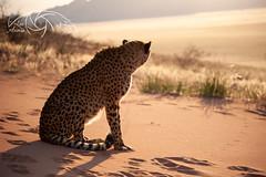 In the distance (Lux Animae) Tags: favourite cheetah namibia namib desert gepard golden craving longing