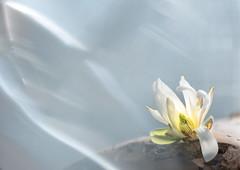 Sternenmagnolie (Pe Wi... bin dann mal weg) Tags: sternenmagnolie blüte prisma 150mm macroring garten natur frischeluft sonntag wasfüreintolleswochenende gruskarte schönebeschäftigung