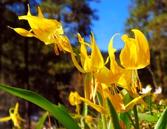 Ski Hill Leavenworth Spring Walk (Pictoscribe) Tags: the fawn lilies out full foreceerithronium grandiflorum pictoscribe ski hill march 31 2019