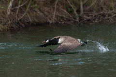 Flight Achieved (cabalvoid) Tags: lincoln a7riii wildlife nature bird moyses canada goose action water