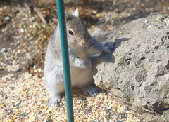What you know for sure...... (ineedathis, Everyday I get up, it's a great day!) Tags: squirrel male easterngraysquirrel sciurus treesquirrel sciuruscarolinensis animal critter nature spring furry garden nikond750 seeds posing portrait outdoor whiskers