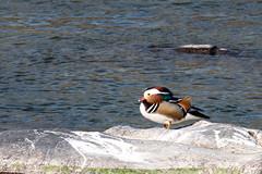 19S_1095 (SYShin) Tags: nikon d850 nikkor 200500 bird ave animal aixgalericulata mandarinduck patomandarín 니콘 니콘렌즈 새 조류 동물 원앙 경호강