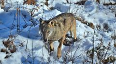 Wolf's glimpse (g.larosa) Tags: wolf winter wild italy abruzzi nationalpark villettabarrea snow wildlife animal