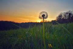 Dandelion dusk (Nige H (Thanks for 20m views)) Tags: nature landscape sundown sunset england spring dandelion grass field meadow countryside somerset