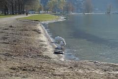 Swan @ Plage d'Albigny @ Annecy-le-Vieux (*_*) Tags: annecy europe france hautesavoie 74 spring printemps 2019 march annecylevieux plagedalbigny lakeannecy lacdannecy animal bird swan cygne nature beach