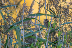 Reed bunting at golden hour (Picturavis) Tags: hallesaale jungtier rohrammer vogel emberizaschoeniclus commonreedbunting juvenile bird tier animal goldenhour germany deutschland picturavis