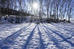 Tree lines (MelindaChan ^..^) Tags: innermongolia china 内蒙古 tree line chanmelmle mel melinda melindachan snow winter sun flare nature white 雪 plant chanmelmel 冰 bashang 壩上