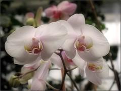 Winter Innocence (Tölgyesi Kata) Tags: orchid orchidea withcanonpowershota620 botanikuskert botanicalgarden greenhouse üvegház füvészkert flower budapest macro blossom fleur virág winter tél
