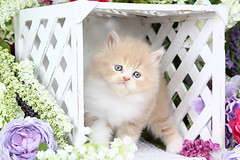 Cute Kitten Pictures (dollfacepersiankittens.com) Tags: persian kittens for sale doll face photography cats cat kitten kittensofinstagram kittenpictures catpictures felines animals pets