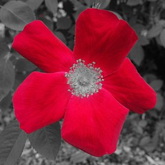 Tests of a Rose 3 (sjrankin) Tags: 12february2019 edited test output app cellphoneapp flower rose hamanasu yuni yunigarden closeup