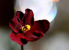 Violet In Sun_006 (Lynn - Starting Over Again) Tags: macromondays macro hardlight light bokeh red bright sunlight violet africanviolet blossom flower