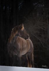 Stallion (Rainfire Photography) Tags: horse rockymountainhorses saddlegait felelonfalls stunning stallion winter nikon