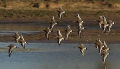 Godwit in Holland (jopieborst) Tags: grutto vogel godwit natuur vogelfotografie canon7dmk2 canon400mmf56 wildlife birds