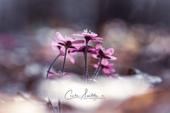 Dreaming of Spring (CecilieSonstebyPhotography) Tags: anemone anemonehepatica april bokeh bygdøy canon canon5dmarkiii closeup ef100mmf28lmacroisusm flower flowers forest macro markiii oslo outdoor petal petals pink purple spring stem stems sunlight woods ngc