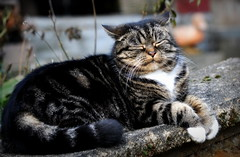 Monday Face (SpitMcGee) Tags: mondayface teddy cat kater pet tabby spitmcgee