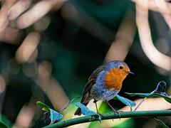 Curious robin (Shiroi_kiba) Tags: robin curious animal animallover bird wildlife panasonic hfsa100300 nature feather branch tree green park forest
