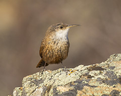 Canyon Wren-3 (Ian Kelshaw) Tags: canyon wren okanagan bc