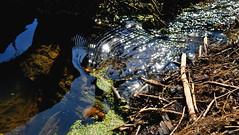 Spring creek. (ALEKSANDR RYBAK) Tags: изображения ручей вода течёт весна сезон погода природа солнечный свет день тепло отражение ряска images creek water flowing spring season weather nature solar shine day heat reflection duckweed