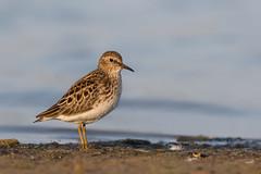 Least Sandpiper (ayres_leigh) Tags: bird nature piper least morning sunrise markham ontario wildlife migration spring
