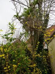 1527-35L (Lozarithm) Tags: oldforge gardens flora forsythia pentax zoom k1 1530 hdpda1530mmf28edsdmwr blip