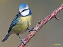 Herrerillo común  (Cyanistes caeruleus) (15) (eb3alfmiguel) Tags: aves pájaros insectívoros passeriformes paridae herrerillo común cyanistes caeruleus