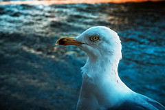 """You can call me Jon"" (Мaistora) Tags: bird water river bridge seagull species closeup portrait shadow hue blue wildlife city urban london thames londonbridge southside sunny clear bluesky tint reflected beak eye feathers backlit backlight cityoflondon squaremile england britain uk leica typ109 dlux m43 compact ps lightroom"