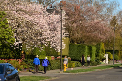 Spring on Queen Anne 14 (C.M. Keiner) Tags: seattle washington usa city cityscape skyline mountains pacific northwest puget sound queen anne hill space needle urban spring cherry blossoms