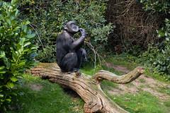 Western Chimpanzee (Pan troglodytes verus) (Seventh Heaven Photography) Tags: western chimpanzee chimp west african pan troglodytes verus animal pantroglodytesverus mammal primate zeezee trees grass nikond3200 chester zoo cheshire criticallyendangered