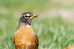 20190406101417 (varikvalefor) Tags: avis aves photography robin american songbird bird turdus migratorius
