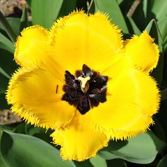 """2017-04-10 Tulipa """"Hamilton"""" - BG Teplice (beranekp) Tags: czech teplice teplitz botanik botany botanic herbarium herbary herbář garden garten flora flower plant tulipa"""
