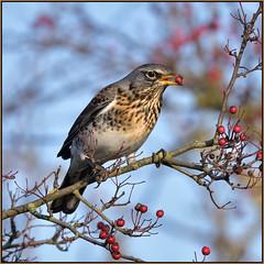 Fieldfare (image 1 of 3) (Full Moon Images) Tags: rspb fen drayton lakes wildlife nature reserve cambridgeshire bird eating berry fieldfare