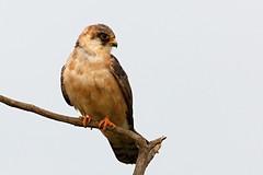 IMG_1060 (chavko) Tags: jozefchavko canon flickr bird hawk chavko falco vespertinus redfooted falcon slovakia sky animal photo tree forest people