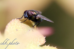 Small fly in softfocus (chk.photo) Tags: outdoor salzburg flower fly nature austria blume ngc tier natur naturewatcher naturemasterclass fliege animal