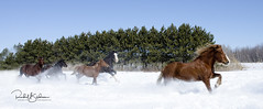 west-class horses-170318-D7000-DSC_7271 (rachelbilodeau) Tags: horse westclass stamable race cheval chevaux course galop quebec canada equine maythor