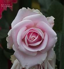 Rose Pink (rumerbob) Tags: rosepinkwhite rose rosegarden macro macroflower macrophotography flower floral flowergarden fauna flowerphoto botany botanicalgardens botanical longwoodgardens nature naturewatcher naturephotography canon7dmarkii canon100mmmacrolens