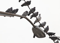 Pigeons hanging (henulyphoto) Tags: pigeon bird animal wing feather lamp wire pole