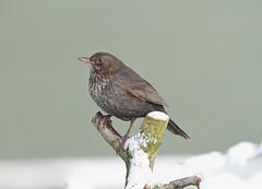 Blackbird 43 (svartþröstur) (Svenni and his Icelandic birds.) Tags: blackbird svartþröstur turdusmerula