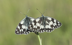 Marbled White (Melanargia galathea). (Bob Eade) Tags: marbledwhite melanargiagalathea butterflies southdownsnationalpark seaford sussex eastsussex europeanbutterflies downland nature wildlife bokeh white black nymphalidae pair