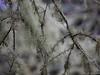 Lichen (David R. Crowe) Tags: forest lichen nature plant tree bainbridgeisland wa usa