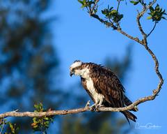 Bah Humbug! (craig goettsch) Tags: sanibel2018 baileytract osprey raptor birdofprey avian nikon d500 nature wildlife