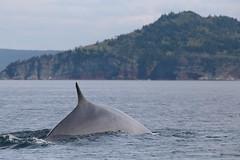 A Mighty Fin Whale (peterkelly) Tags: digital canon 6d northamerica canada newfoundlandlabrador shoreline shore coast coastline finwhale whale fin trinitybay water