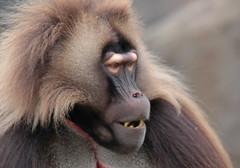 Gelada Blijdorp 094A0487 (j.a.kok) Tags: animal africa afrika aap mammal monkey primate primaat baboon baviaan roodborstbaviaan gelada zoogdier dier blijdorp