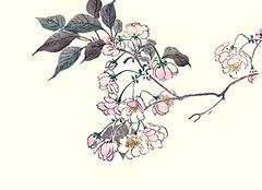 Cherry (Japanese Flower and Bird Art) Tags: flower cherry prunus rosaceae ukiyo woodblock picture book japan japanese art readercollection