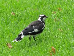 Magpie-lark (tedell) Tags: magpielark immature royal botanic gardens melbourne victoria australia december 2018 bird