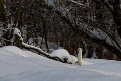 Hermine savoyarde (pascalroger) Tags: hermine faune haute savoie nature neige