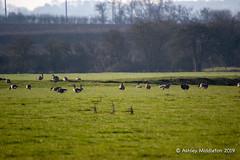 Canada and Greylag Geese (Ashley Middleton Photography) Tags: inglesham riverthames animal bird canadagoose england europe goosegeese greylaggoose river unitedkingdom wiltshire